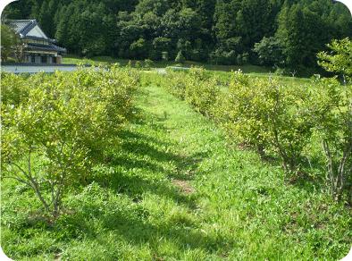 ブルーベリー園